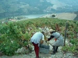 quinta infantado- working in the vineyard